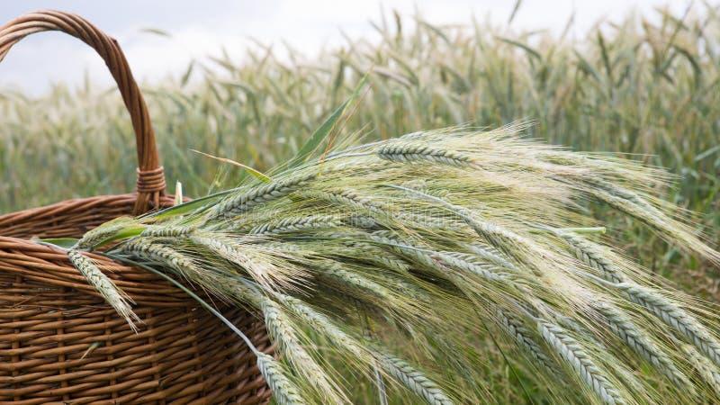 Korg med korn som är främst av cornfield arkivbilder