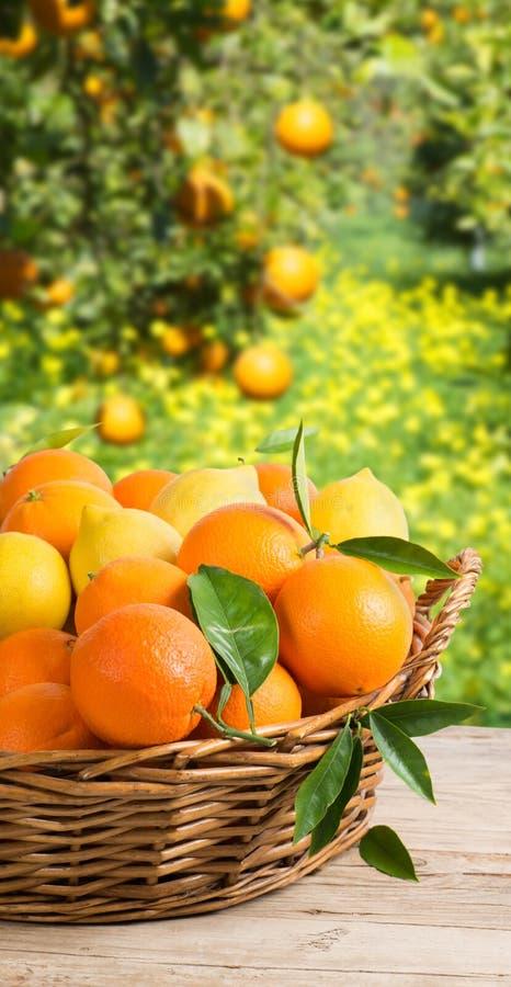 Korg mycket av apelsiner och citroner i trädgård royaltyfri foto