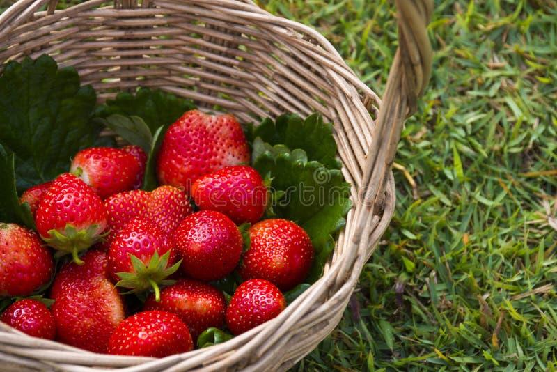 Korg mycket av jordgubbar arkivfoton