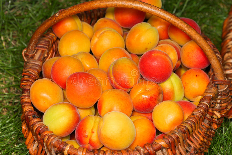 Korgar med nya mogna aprikors på gräset close upp royaltyfri bild
