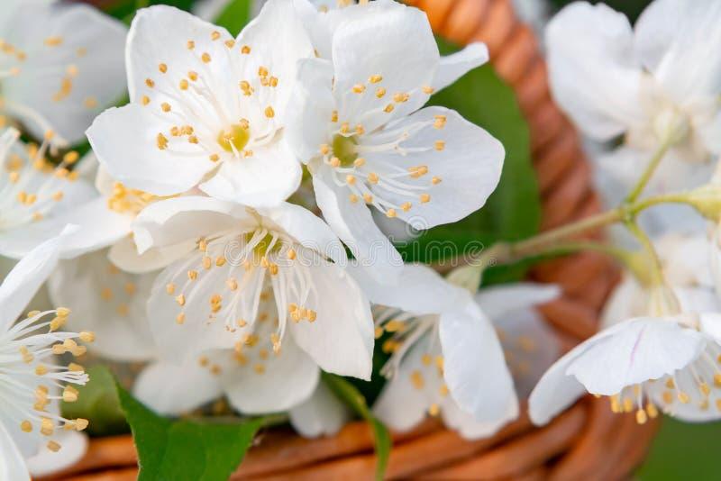 Korgen med blommor av philadelphusen någonstans kallade jasmin eller den falska apelsinen på ett vitt trämagasin utomhus i sommar arkivbild