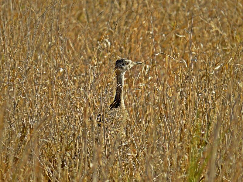 Korhaan à crête rouge dans la plaine d'herbe, Afrique du Sud photos stock