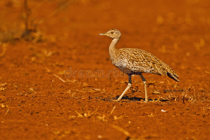 Download Korhaan on red stock image. Image of kruger, eupodotis - 25880693