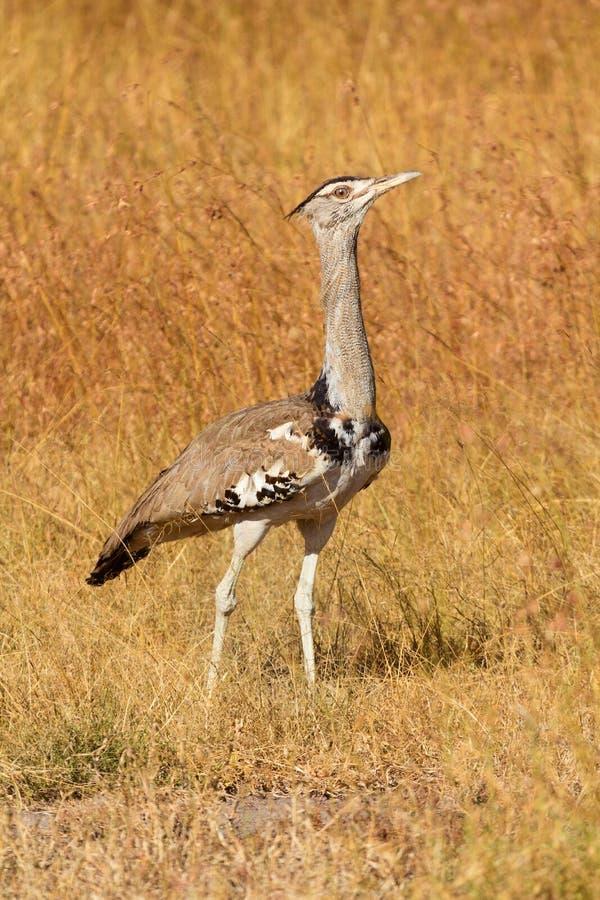 Kori鸨鸟,马塞语玛拉 免版税库存照片