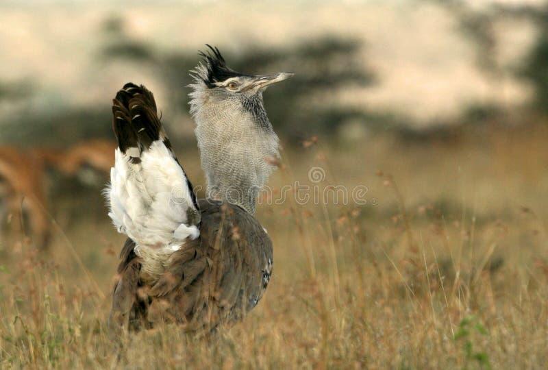 Download Kori bustard stock image. Image of birds, biodiversity - 23986731