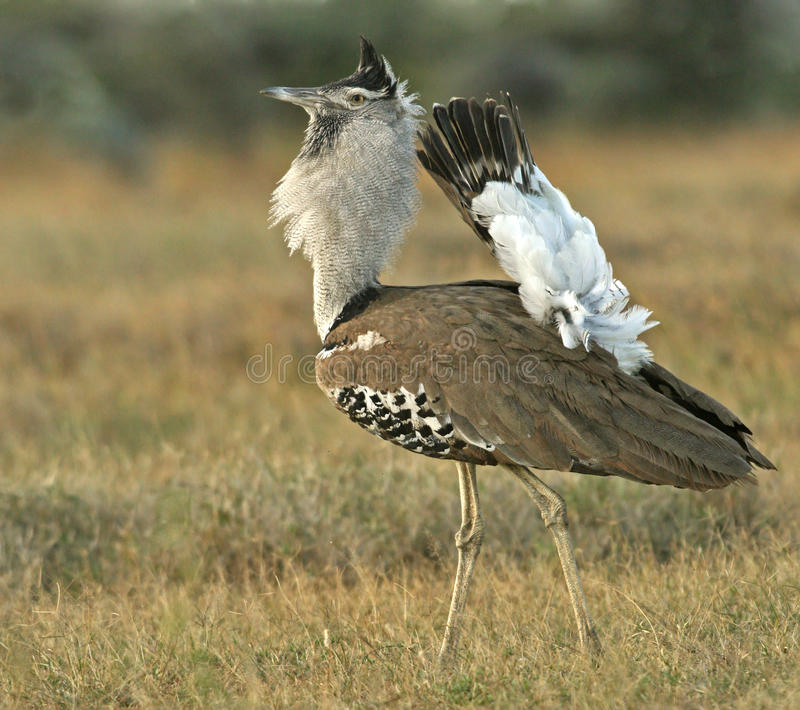Download Kori bustard stock photo. Image of breeding, ardeotis - 23986732