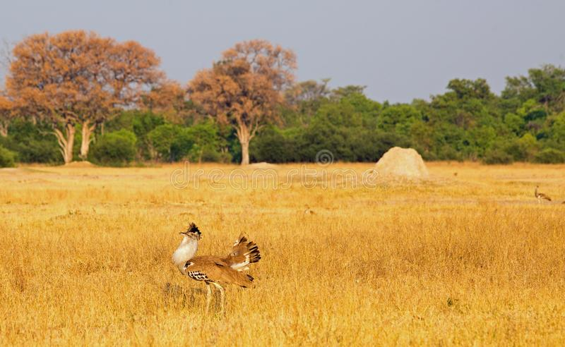 Kori Bustard on the African Plains - with mating plumage. Male Kori Bustard Ardeotis kori showing off his plumage with a female in the distance in Hwange stock image