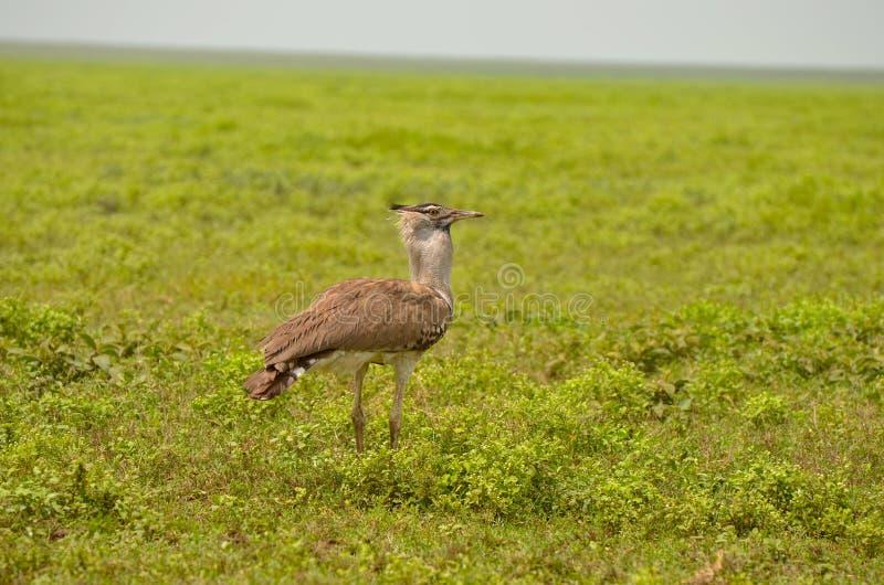 Kori Bustard Bird en Serengeti foto de archivo