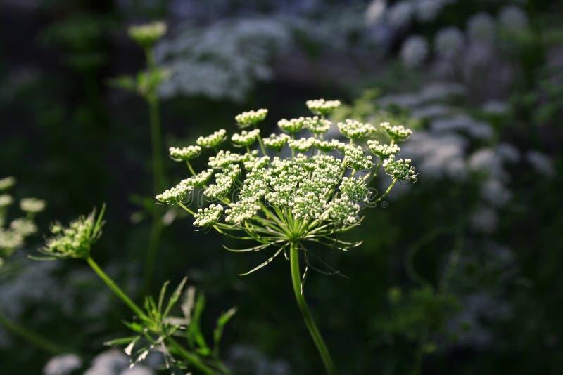 koriander blommar white arkivbilder