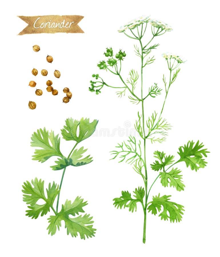 Korianderanlage mit den Blumen, Blättern und Samen lokalisiert auf weißer Aquarellillustration stock abbildung