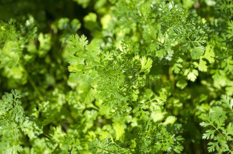 Korianderbladeren royalty-vrije stock fotografie