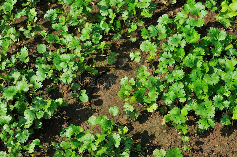 Korianderplantor fotografering för bildbyråer
