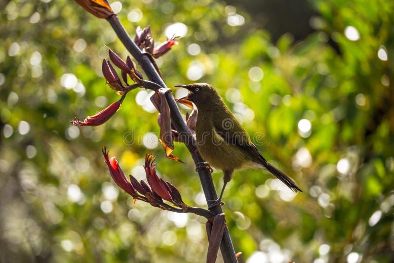 Korimako Bellbird Новой Зеландии есть цветок в Milford Sound, Fi стоковое изображение rf