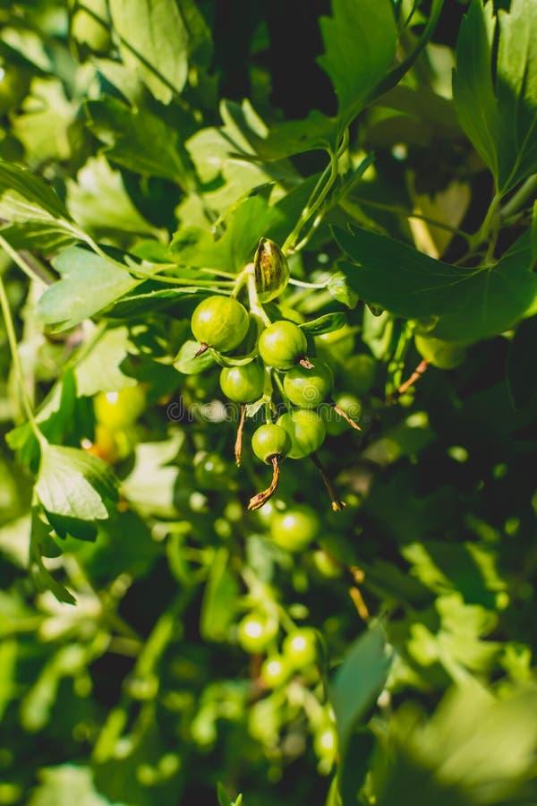 Korinthe auf einem Busch lizenzfreie stockfotografie