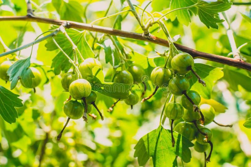 Korinthe auf einem Busch stockfotografie