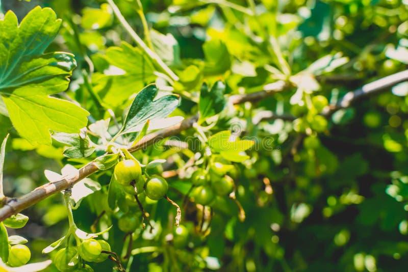 Korinthe auf einem Busch stockfotos