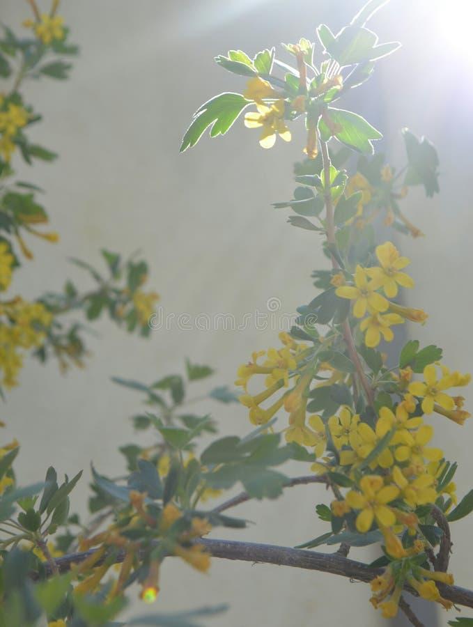 Korinthenblumen lizenzfreie stockbilder