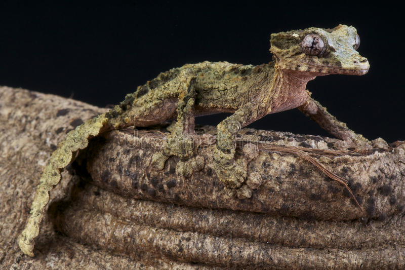 Korka-skäll gecko/Uroplatus pietschmanni arkivfoto