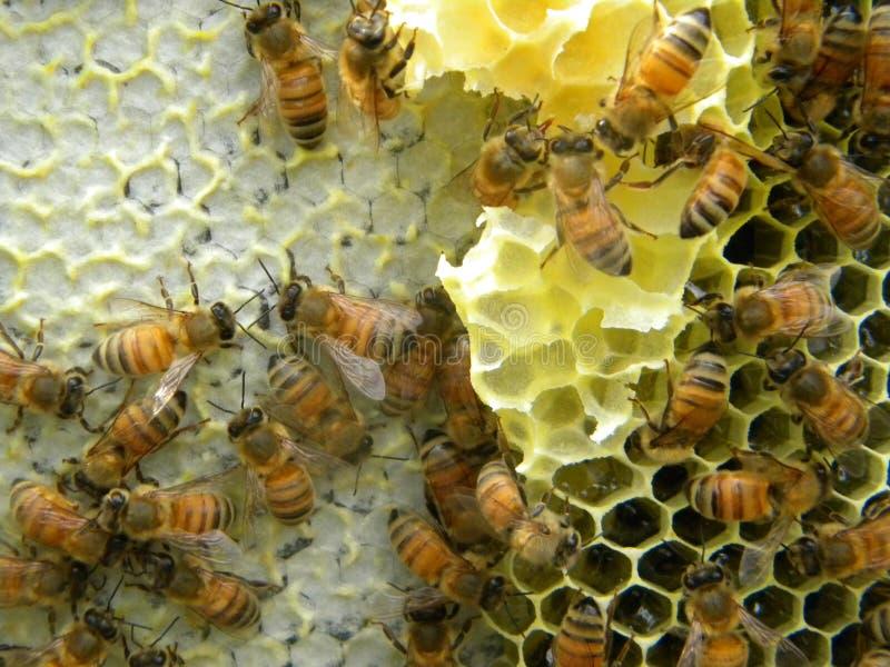 Korkade honung- och nektarceller royaltyfri foto