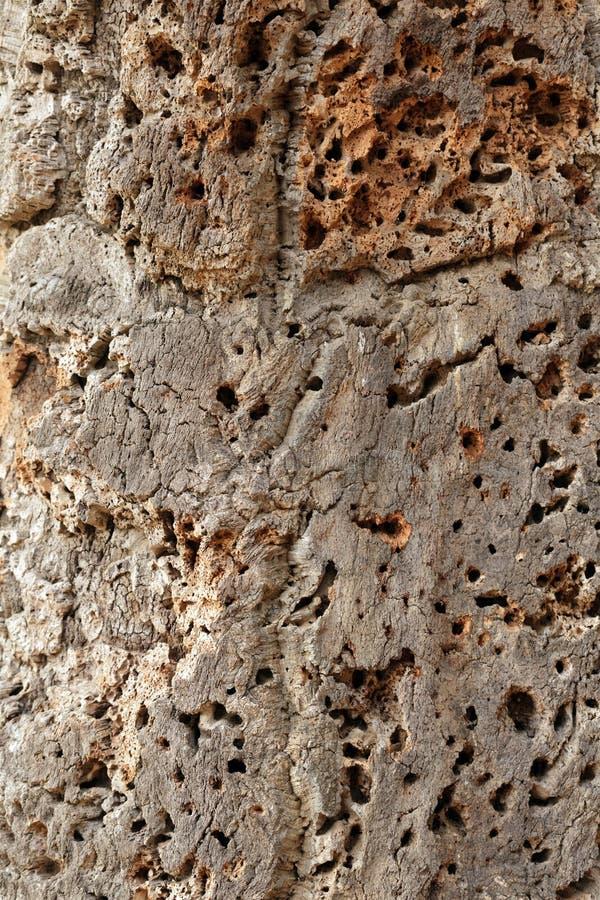Korkowa drzewna skóra obraz stock