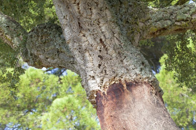 Korkowi dębowi drzewa w Hiszpania zdjęcie stock