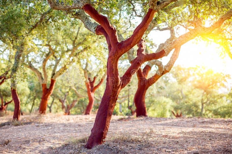 Korkowi dębowi drzewa w Portugalia obraz stock