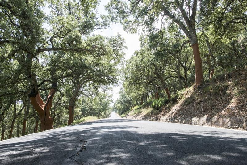 Korkowi drzewa i droga w lesie obraz stock