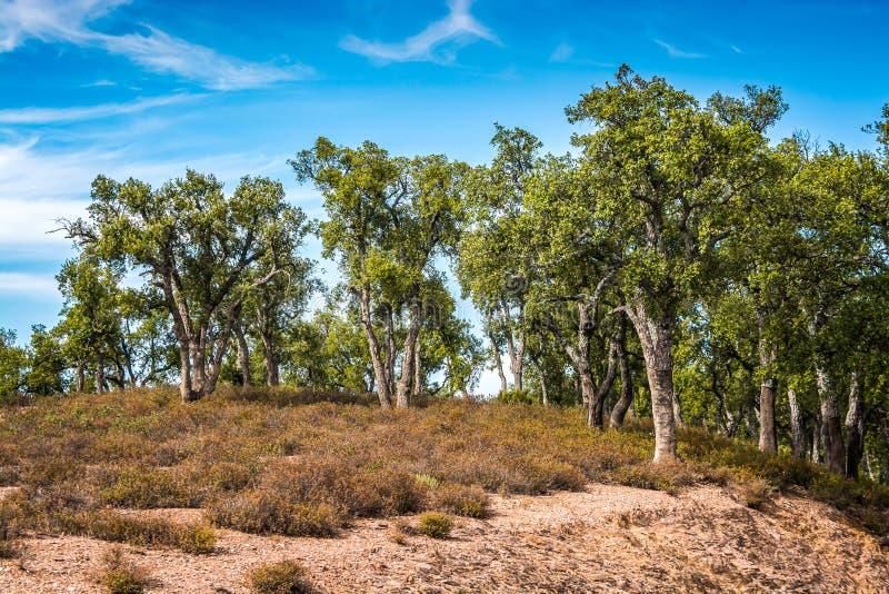 Korkowi drzewa w parku narodowym Tazekka w Maroko zdjęcie royalty free