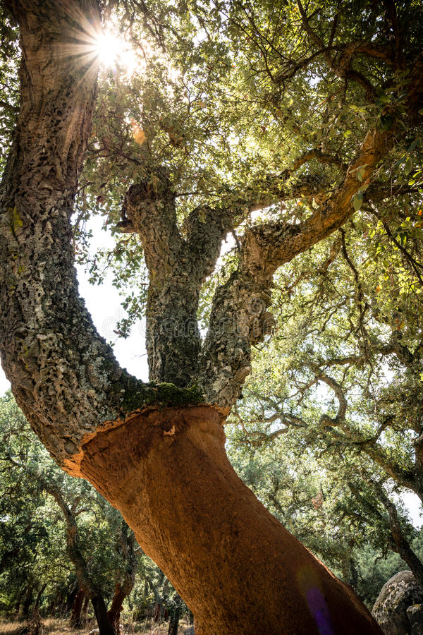 Korkowy dębowy drzewo w Sardinia fotografia royalty free