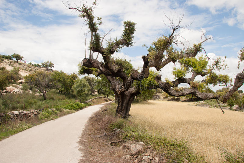 Korkträd i Alentejoen Portugal arkivfoto