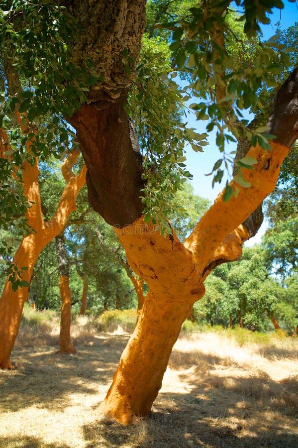 Korkträd i y-form arkivfoton