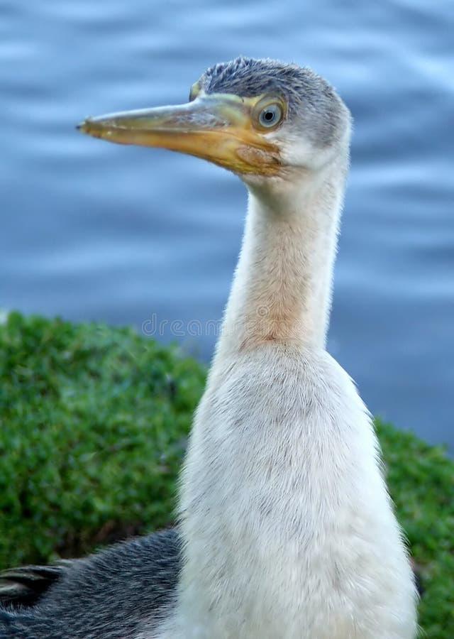 kormoranów zwierzęcych obrazy royalty free