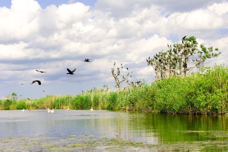 Kormoran bygga bo i träd i Donaudelta royaltyfria foton