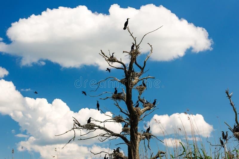 Kormoran bygga bo i träd med blå himmel royaltyfri foto