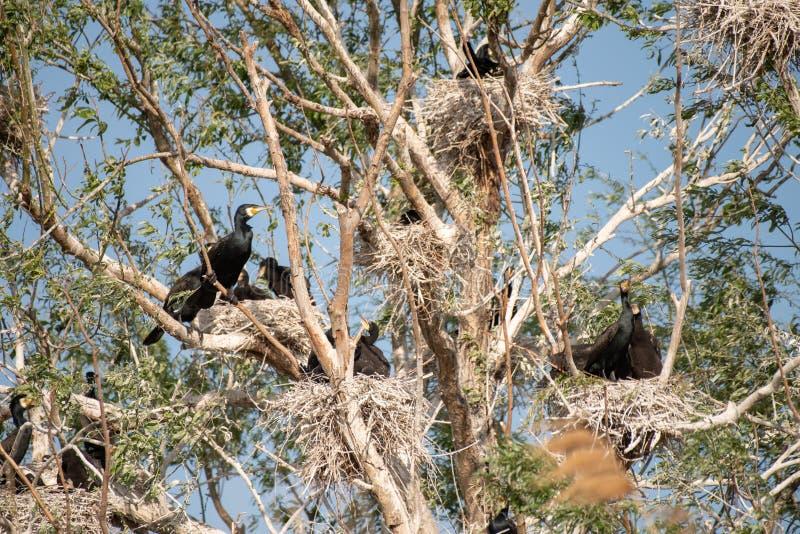 Kormoran kolonie w Danube delcie, Rumunia przyrody ptasi dopatrywanie fotografia stock
