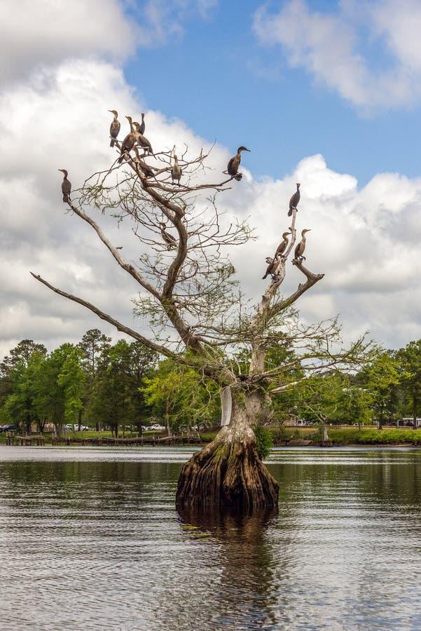 Kormoran på träd för skallig cypress fotografering för bildbyråer