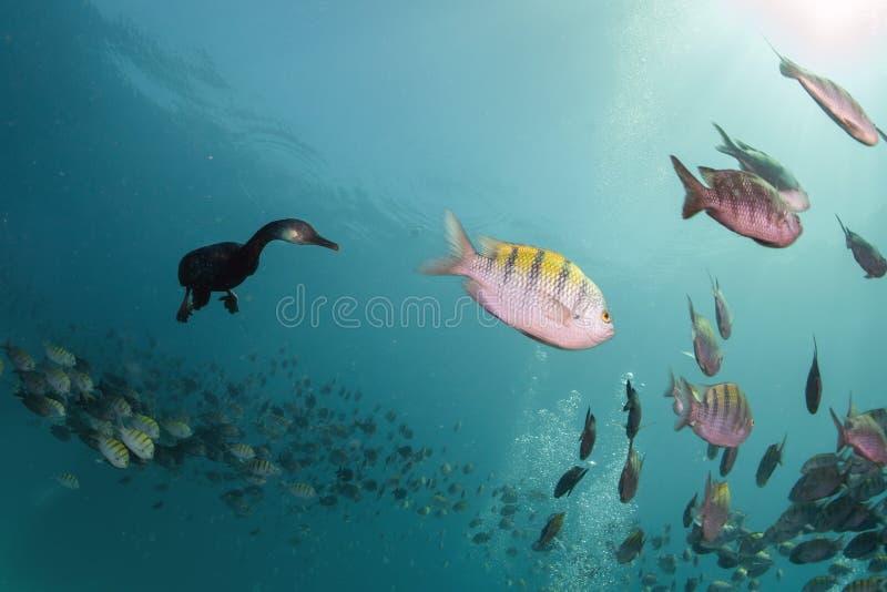 Kormoran podczas gdy łowić podwodny w popas piłce fotografia royalty free