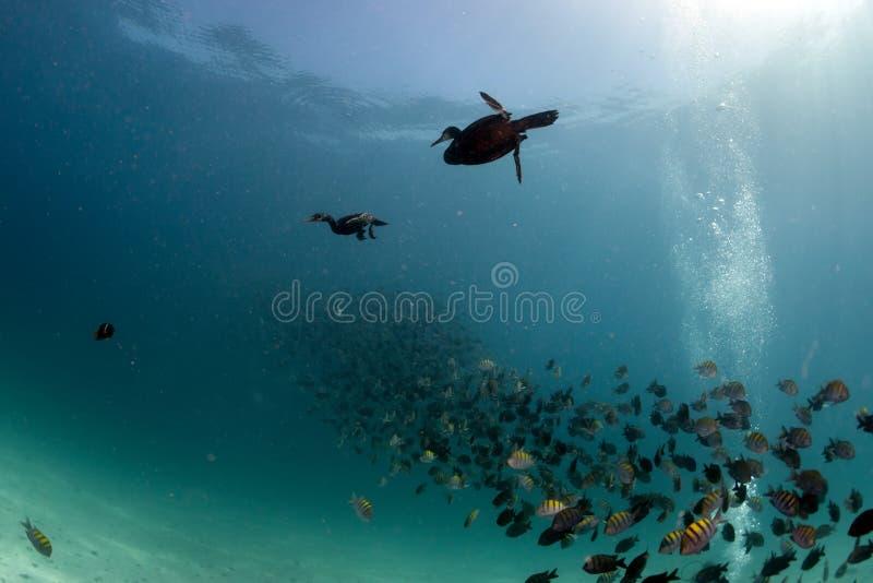 Kormoran podczas gdy łowić podwodny w popas piłce obraz stock