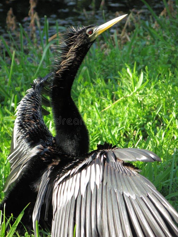 Kormoran-Schlange-Vogel   stockfotos