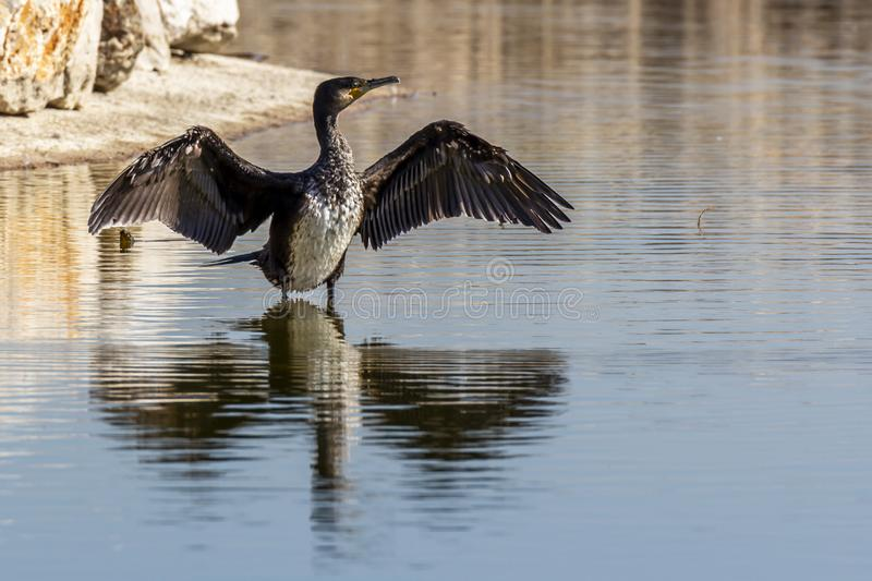 Kormoran som torkar dess våta vingar, når att ha fiskat fotografering för bildbyråer