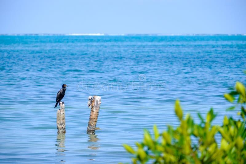 Kormoran w Karaiby obrazy stock