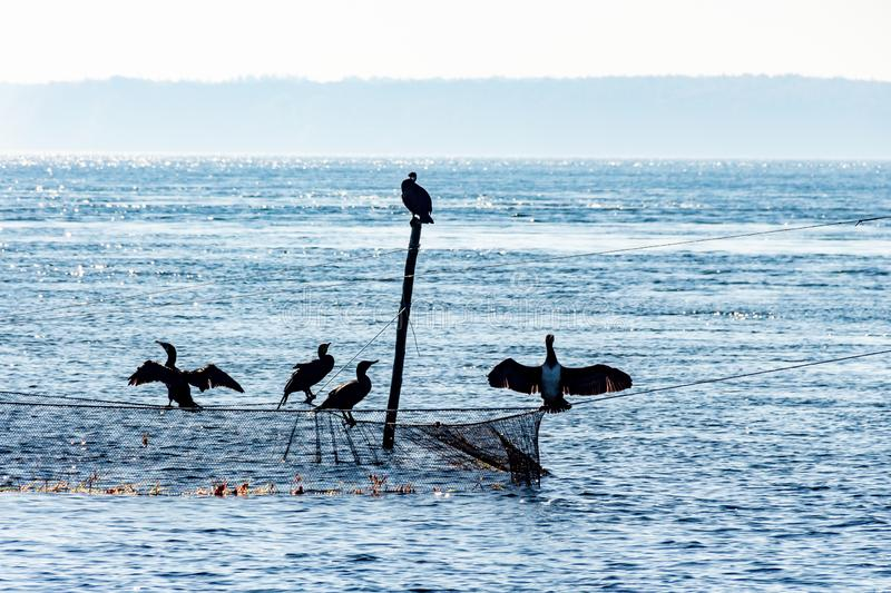 Silhouette of five cormorants sitting at the top of a rod and a flue stock image