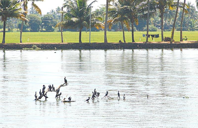 Kormorane in den Stauwassern in Kerala, Indien stockfotografie