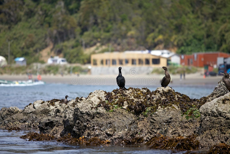 Kormorane an der Punihuil-Bucht, Chiloe-Insel, Chile lizenzfreie stockfotos