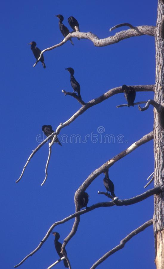 Kormorane in einem Baum lizenzfreies stockbild
