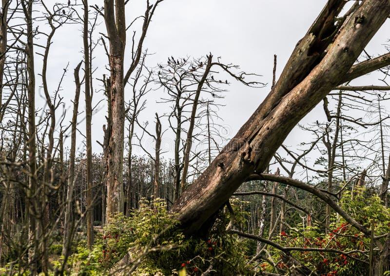 Kormoranreden på döda sörjer träd arkivbilder