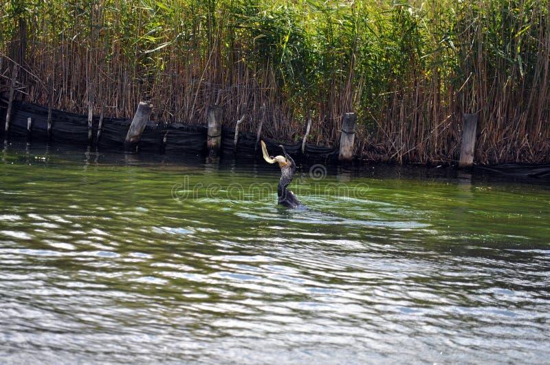 Kormoranseevogel, der einen Aal ein Reihe von 5 Bildern isst lizenzfreie stockfotos