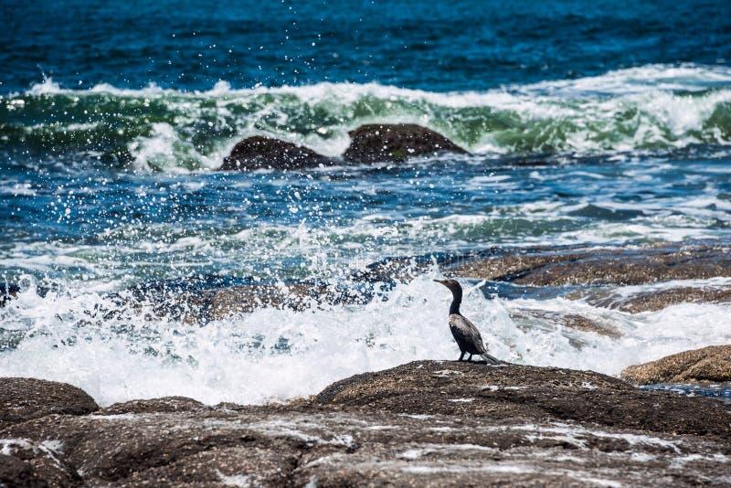 Kormoranu obsiadanie na skale, Urugwaj fotografia royalty free