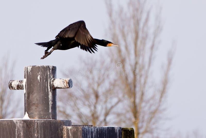 kormoranu ptasi czarny latanie obrazy royalty free
