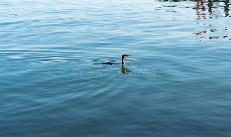 Kormoranu ptasi unosić się na błękitne wody Kormoranu łasowania ptasia ryba obraz royalty free